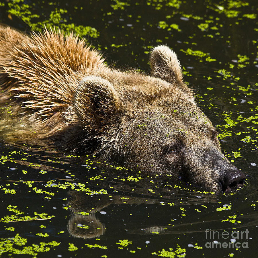 Brown Bear Swimming Photograph
