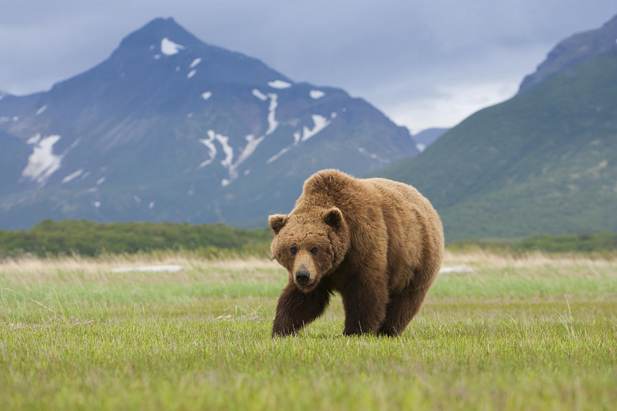 Horizontal Photograph - Brown Bears, Katmai National Park, Alaska, Usa by Mint Images/ Art Wolfe