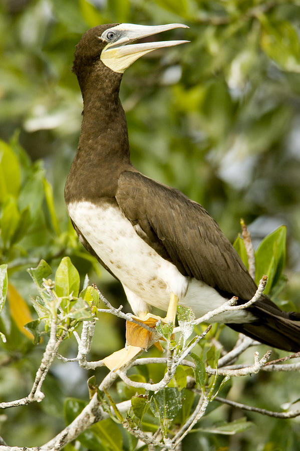Mangrove Trees Photograph - Brown Booby Sula Leucogaster by Tim Laman
