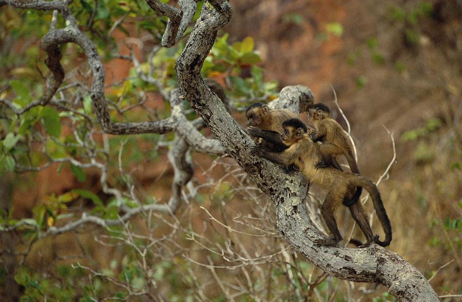 Mp Photograph - Brown Capuchin Cebus Apella Three by Pete Oxford