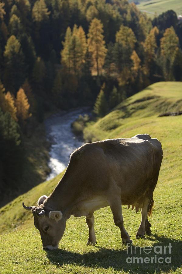 Alpine Photograph - Brown Cow Alps by Alex Rowbotham