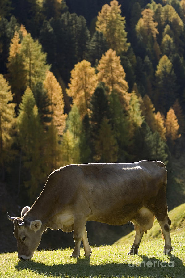 Alto Adige Photograph - Brown Cow In Valle Lunga by Alex Rowbotham