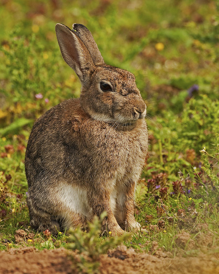 Brown Photograph - Brown Hare by Paul Scoullar