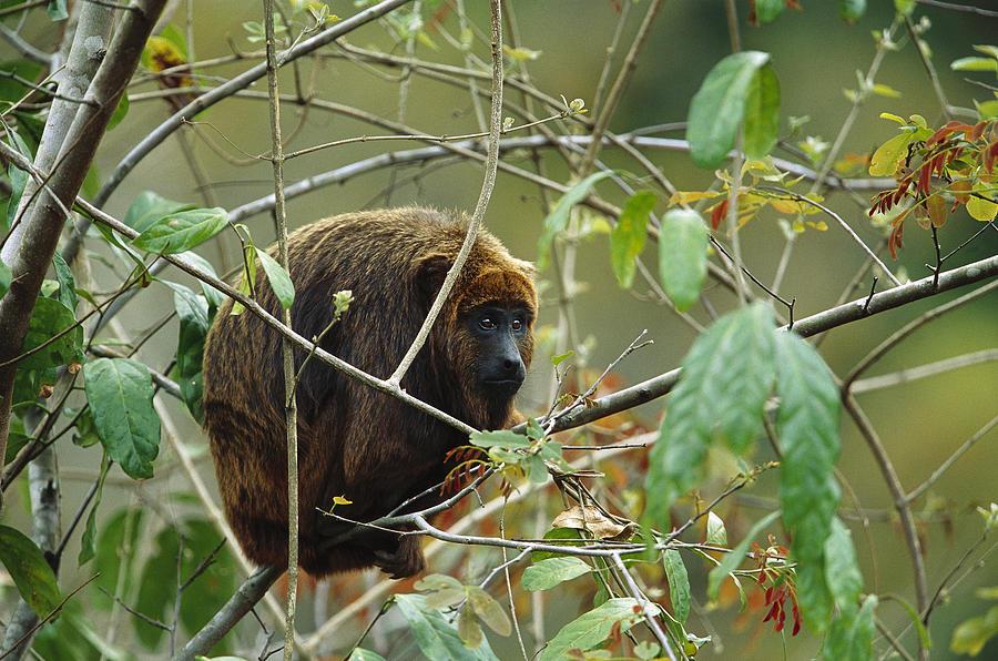 Brown Howler Monkey Alouatta Fusca Photograph by Cyril Ruoso
