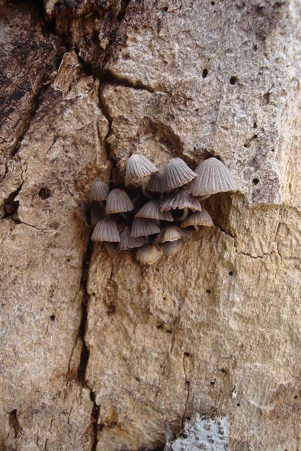 Mushroom Photograph - Brown Mini Mushrooms by Koral Garcia