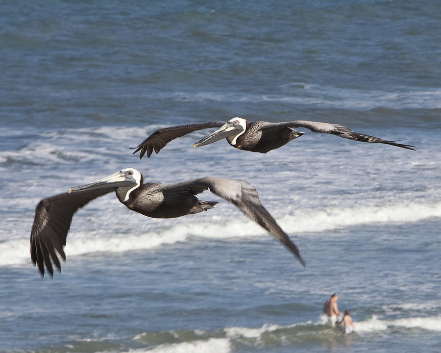 Brown Pelican by John Zawacki