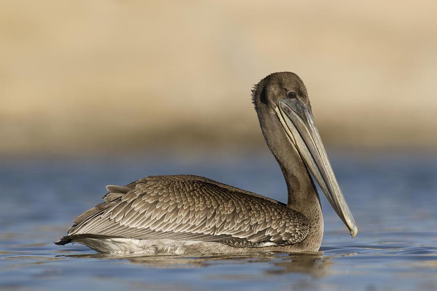 Brown Pelican Juvenile Swimming Photograph by Sebastian Kennerknecht
