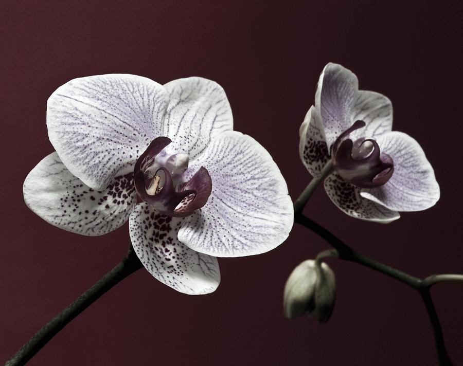Brown Purple White Orchids Flower Macro Flower Photograph