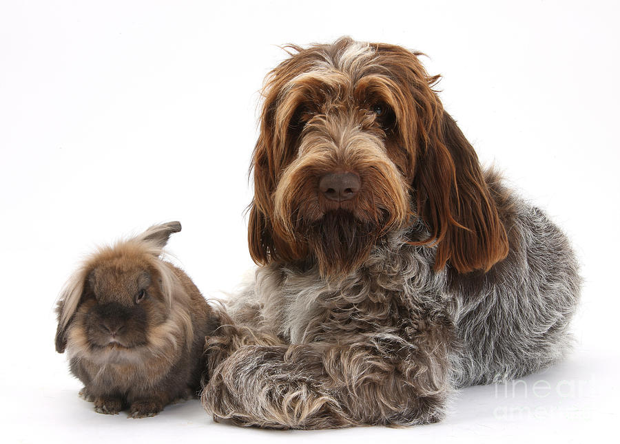 Brown Roan Italian Spinone Dog Photograph By Mark Taylor