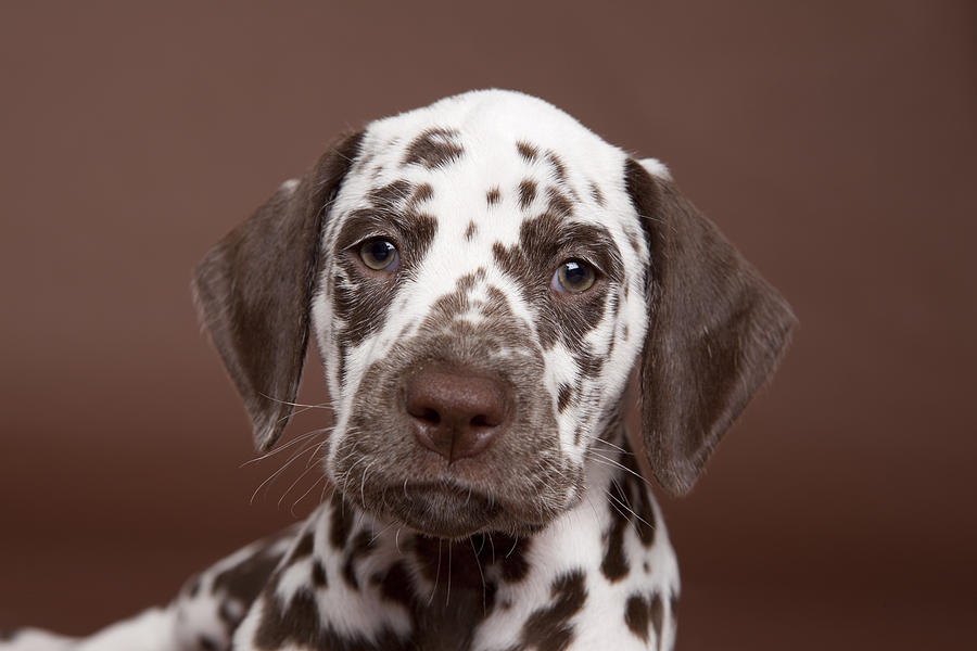 Brown-spotted Dalmatian Puppy Portrait Photograph by Debra ...