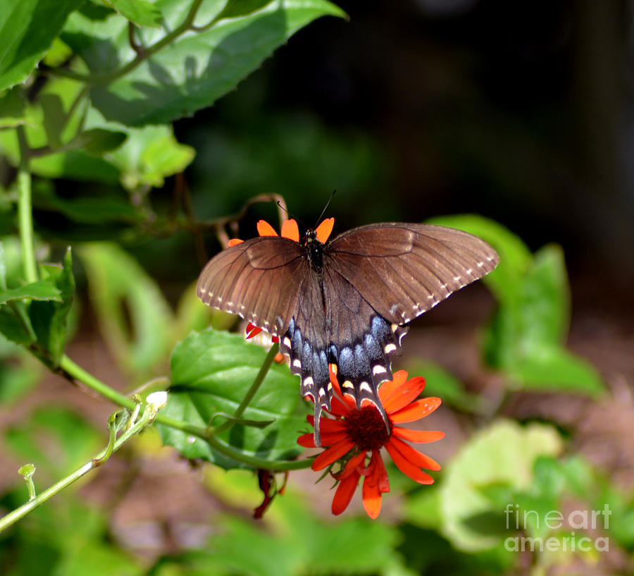 Animal Photograph - Brown Swallowtail Butterfly by Eva Thomas