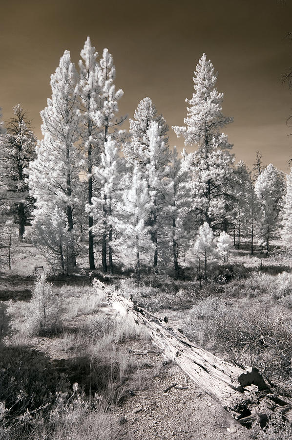 Bryce Canyon Infrared Trees by Mike Irwin