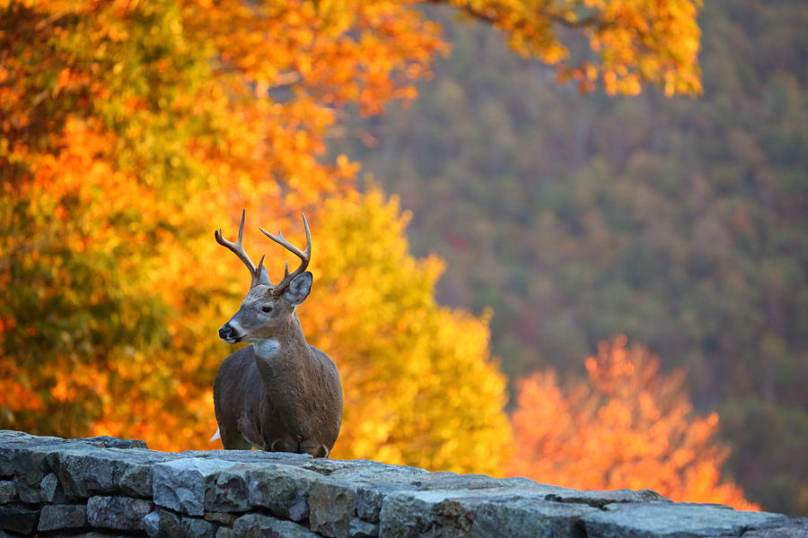 Metro Photograph - Buck In The Fall 04 by Metro DC Photography