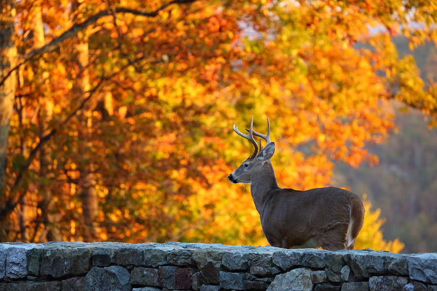 Metro Photograph - Buck In The Fall 05 by Metro DC Photography