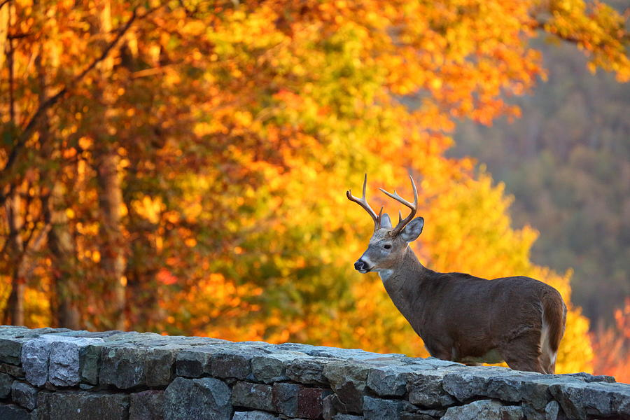 Metro Photograph - Buck In The Fall 06 by Metro DC Photography