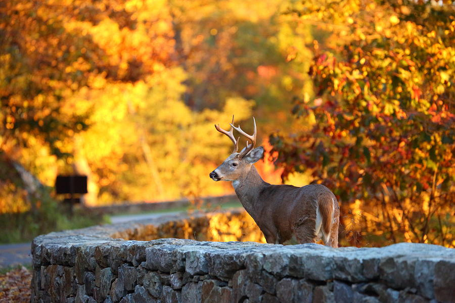 Metro Photograph - Buck In The Fall 09 by Metro DC Photography
