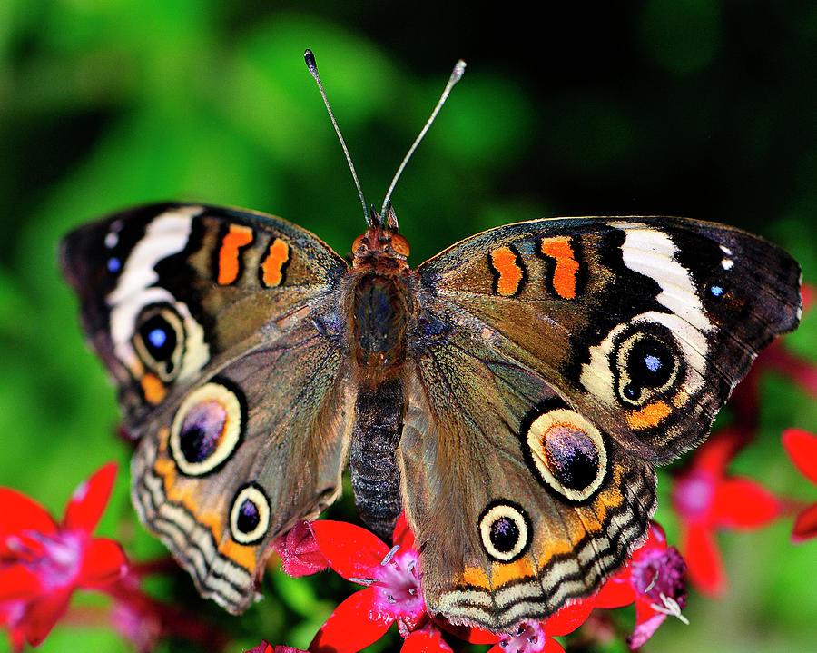 Butterfly Photograph - Buckeye Buttterfly by Bill Dodsworth