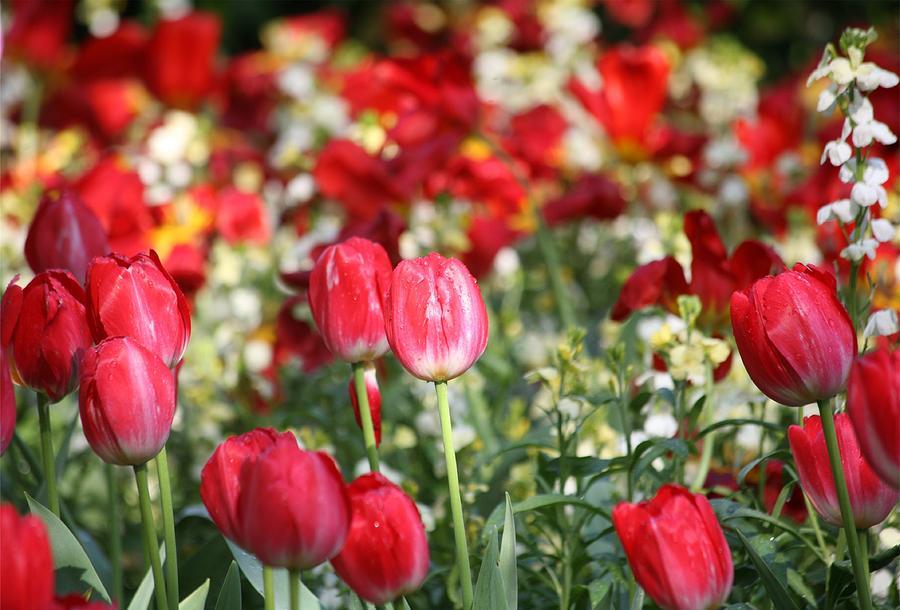Tulips Digital Art - Buckingham Tulips by Carrie OBrien Sibley