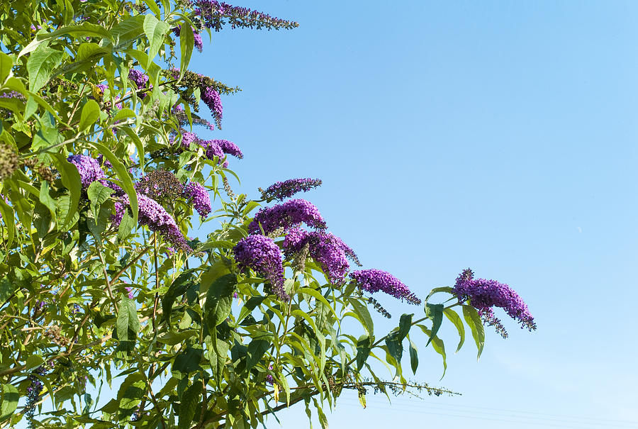 Horizontal Photograph - Buddleia Against Blue Sky by Adrian Burke