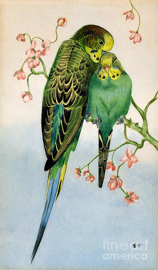 Budgerigars Painting - Budgerigars 1941 by John Chatterley