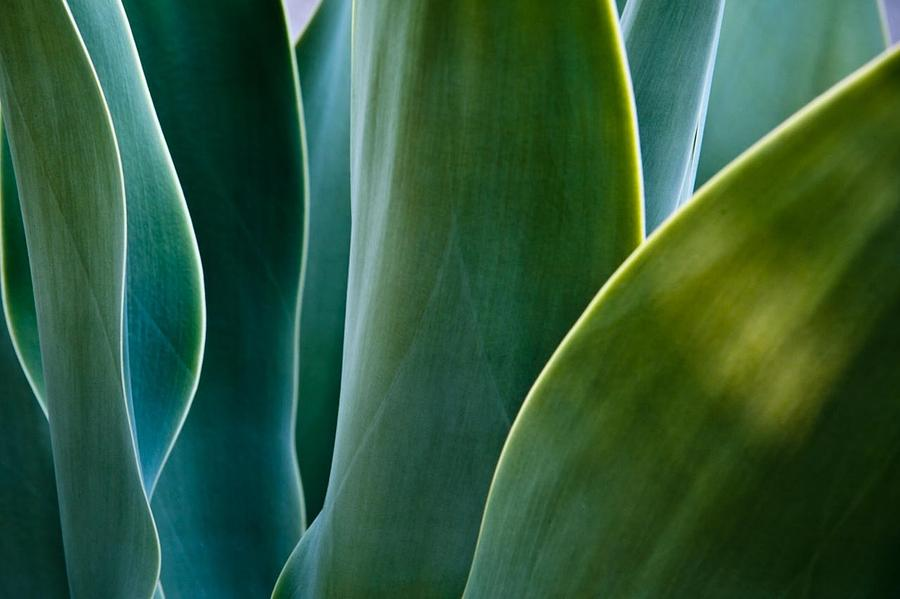 Succulent Photograph - Bue-green Sails by Kate McKenna