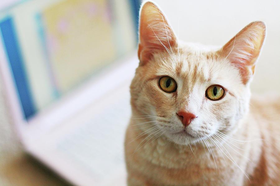 Horizontal Photograph - Buff Cat At Computer by Image(s) by Sara Lynn Paige