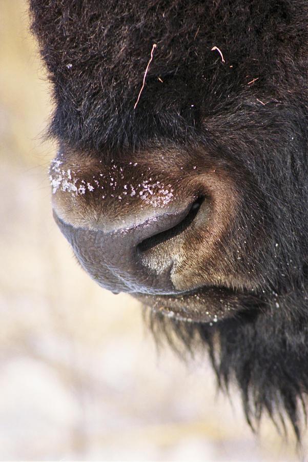 Bison Photograph - Buff Nose by Rick Rauzi