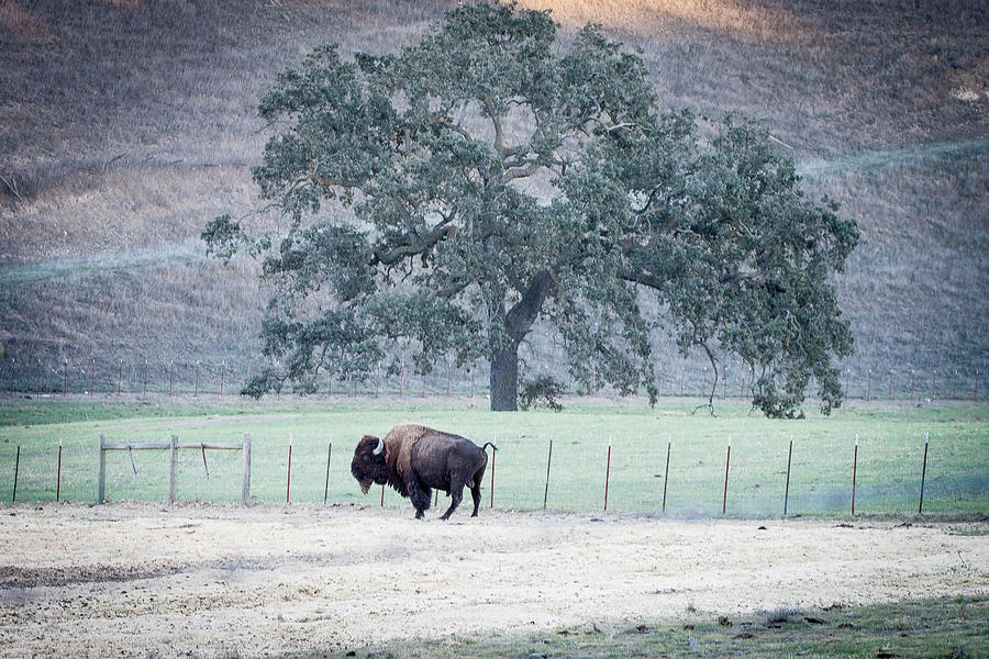 buffalo and an oak tree by Dina Calvarese