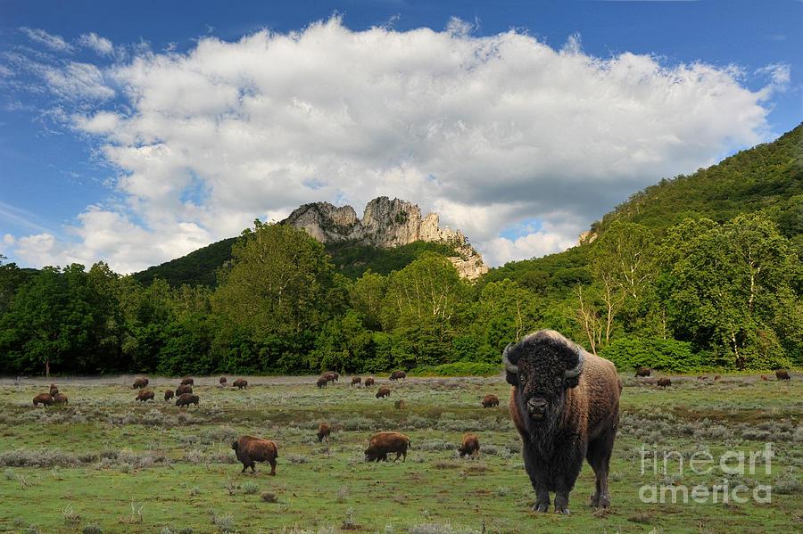 Citaten Seneca Api : Buffalo at seneca rocks wv photograph by dan friend