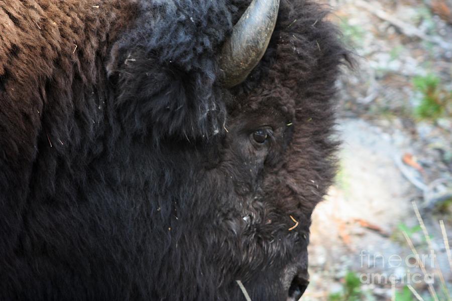 Yellowstone Photograph - Buffalo Close Up by Dave Knoll