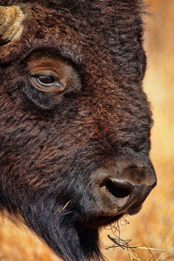 Wildlife Photograph - Buffalo Up Close by Alan Hutchins