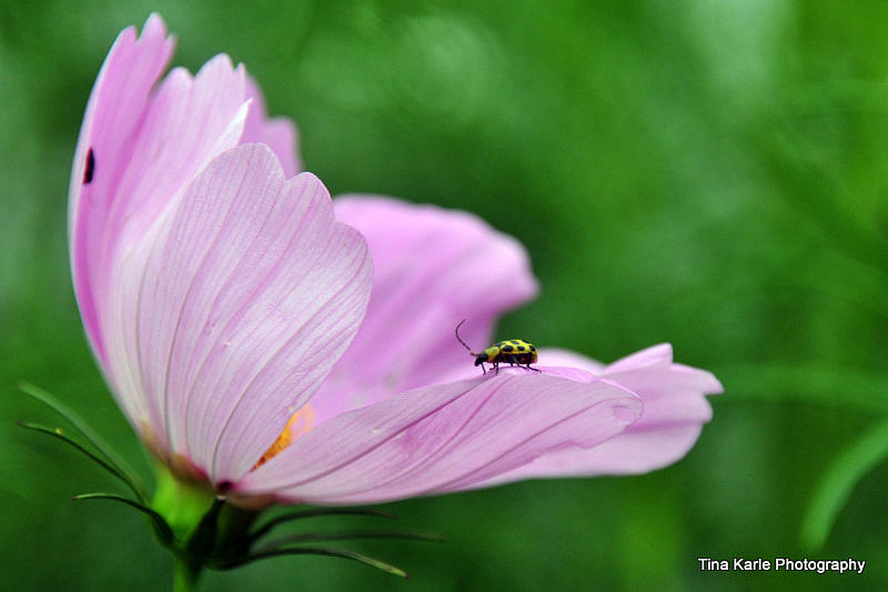 Bug On Flower Tip Photograph by Tina Karle