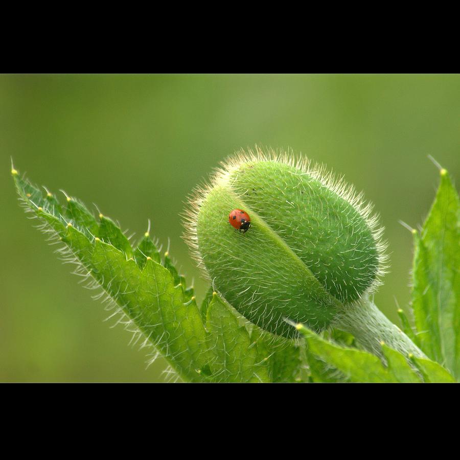 Bug On The Bud Photograph by Bob Van Den Berg Photography