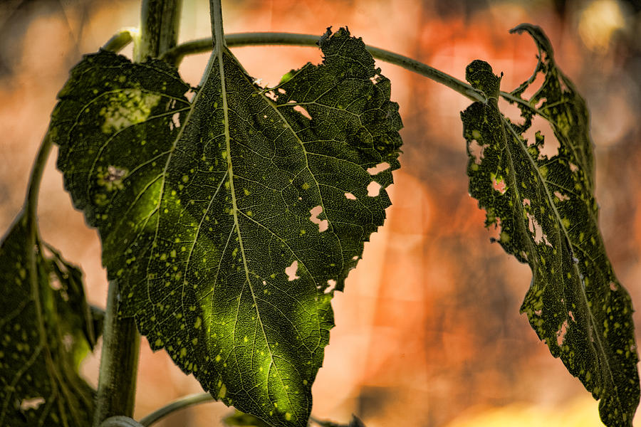 Sunflower Leaves Photograph - Buggilicious by Bonnie Bruno