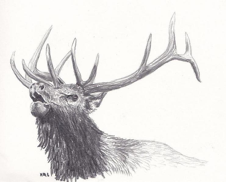 Bull Drawing - Bull Elk by Nicole Grattan