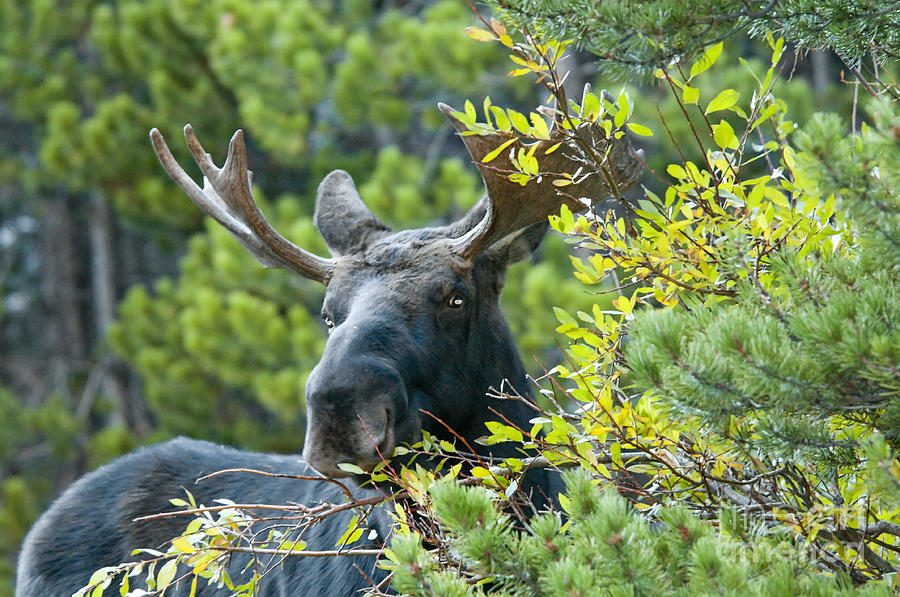 Moose Photograph - Bull Moose At Dusk by Gary Beeler