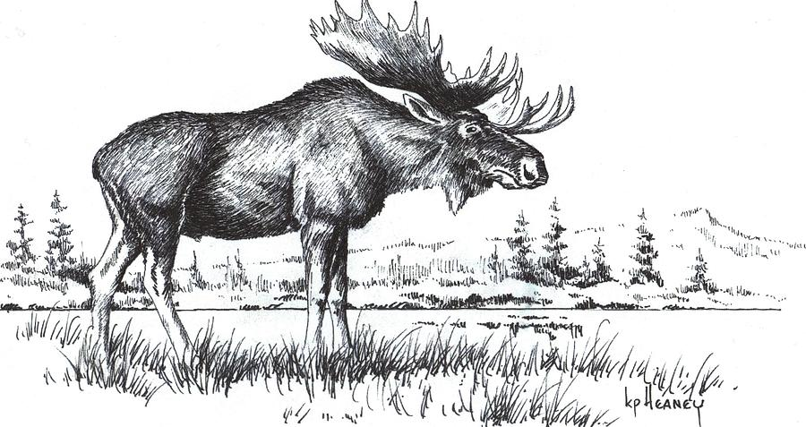 Bull moose drawing by kevin heaney for How to draw a moos