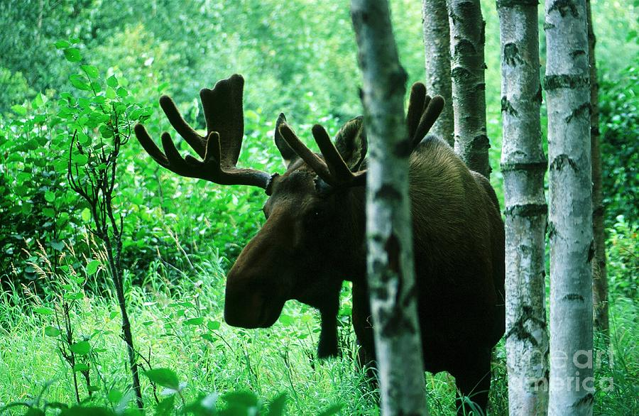 Animal Photograph - Bull Moose  by Ronnie Glover