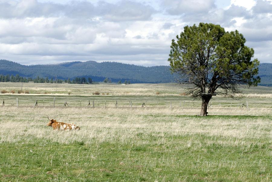 Steer Photograph - Bull by Sara Stevenson