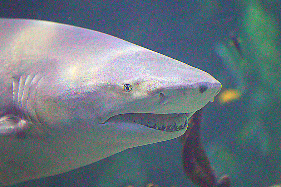 Bull Shark Photograph - Bull Shark Head by Paul Svensen