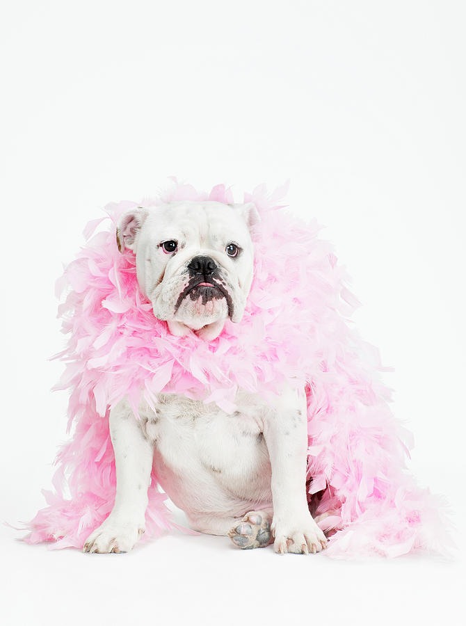 Vertical Photograph - Bulldog Wearing Feather Boa by Max Oppenheim
