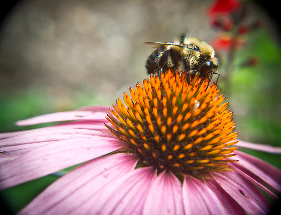 Coneflower Photograph - Bumble Bee Feeding On A Coneflower by Douglas Barnett