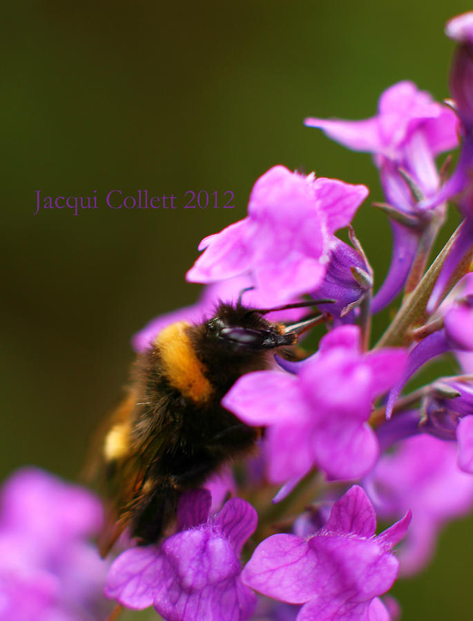 Bumble Photograph - Bumble by Jacqui Collett