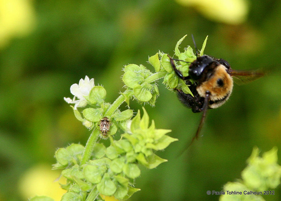 Bumble Bee Photograph - Bumbling On The Basil by Paula Tohline Calhoun