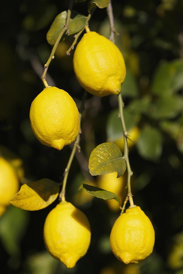 Vertical Photograph - Bunch Of Lemons On Lemon Tree. by Ken Welsh