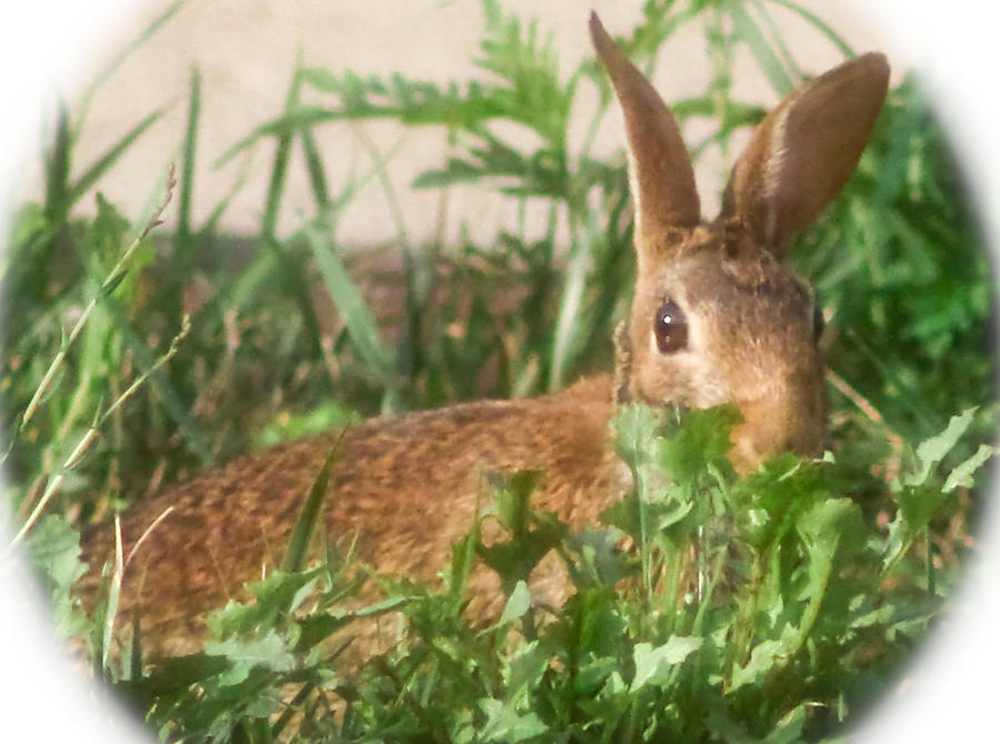 Bunny Photograph - Bunny Playing Hide And Seek by Maureen  McDonald