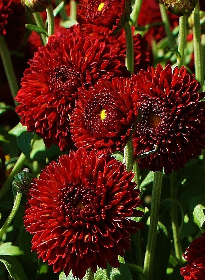 Flora Photograph - Burgandy Mums by Bruce Bley