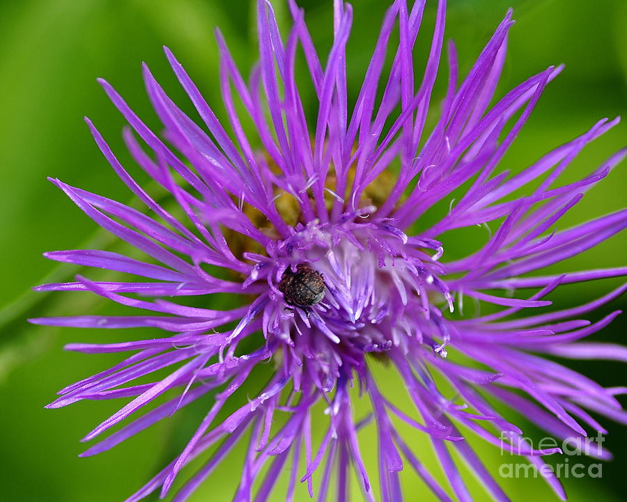 Bug Photograph - Buried In Purple by Scott Gould