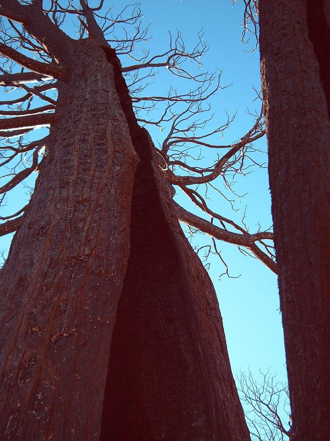 Nature Photograph - Burned Trees 6 by Naxart Studio