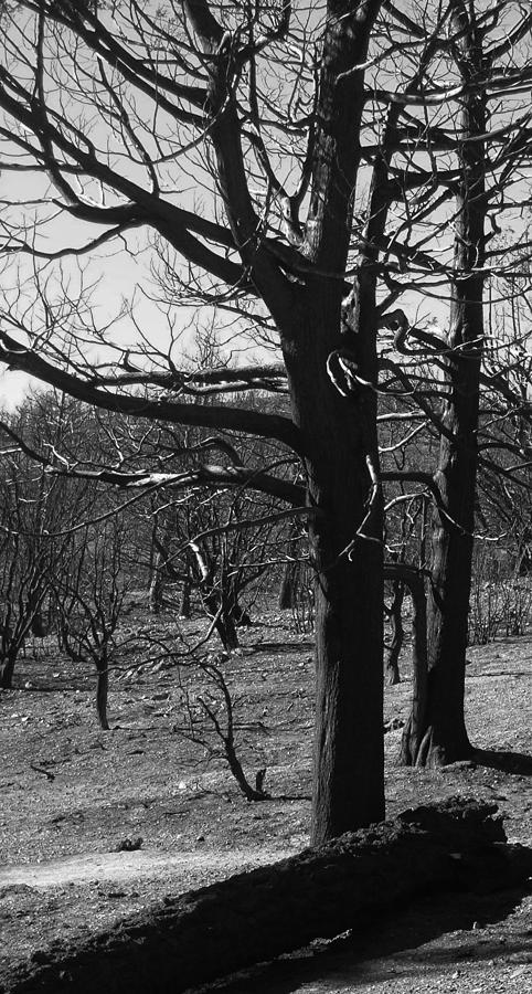 Nature Photograph - Burned Trees by Naxart Studio